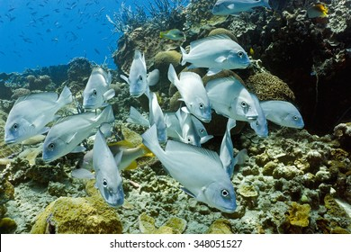 Shoal of  big sweetlips fish on the coral reef