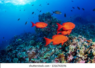 A shoal of Bigeye fish on a coral reef in Thailand