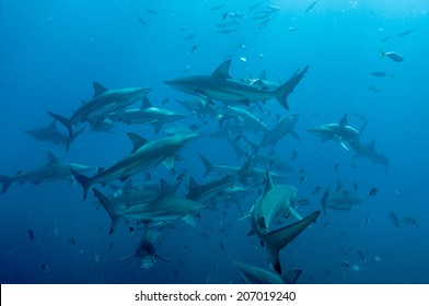 Shoal of blacktip sharks