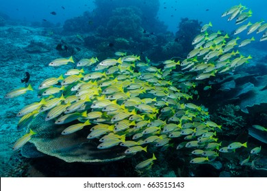 Shoal of blue lined snappers (Lutjanus kasmira)