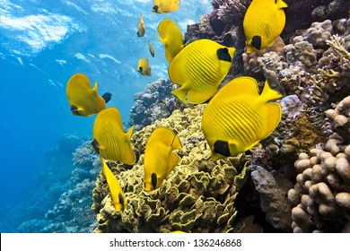 Shoal of butterfly fish on the reef