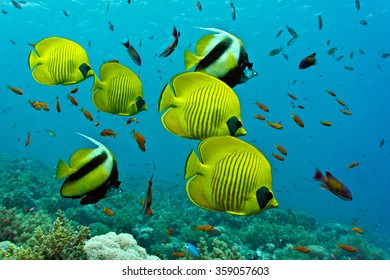 Shoal of Butterflyfish and Bannerfish on the coral reef