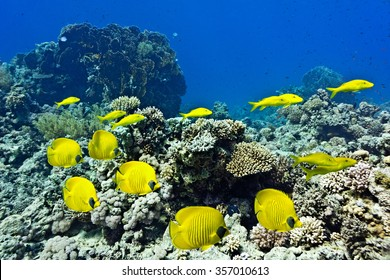 Shoal of Butterflyfish and Yellowsaddle Goatfishfish on the coral reef