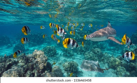 Shoal of colorful tropical fish with a shark and a stingray underwater, Pacific ocean, French Polynesia