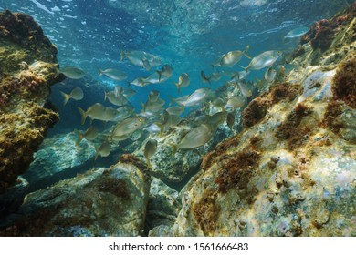 A shoal of fish (Sarpa salpa) with rocks underwater in the Mediterranean sea, Occitanie, France