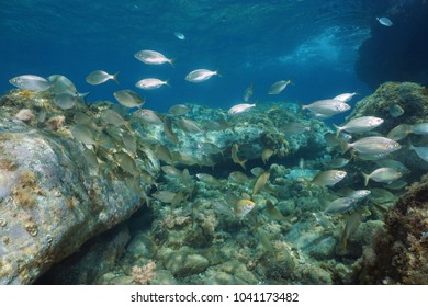 Shoal of fish, sea bream salema porgy, underwater in the marine reserve of Cerbere Banyuls, Mediterranean, Pyrenees-Orientales, France