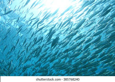 Shoal of fish underwater