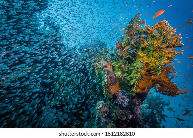 Shoal of glass fish surrounding fire coral. Egypt, souther Red Sea.