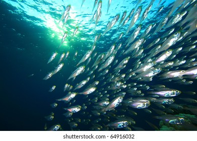 Shoal of Glassfish with Sunburst