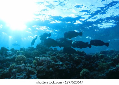 Shoal of Green humphead parrotfish (Bolbometopon muricatum) underwater in the Great Barrier Reef of Australia