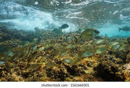 Shoal of Mediterranean sea breams fish underwater between rocky bottom and water surface, France
