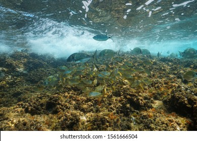Shoal of sea breams fish underwater in the Mediterranean in shallow water, France
