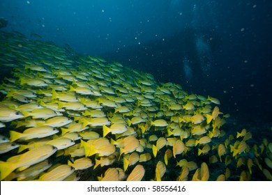 Shoal of snappers at a maldivian reef