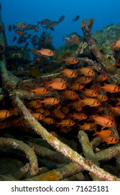 Shoal of soldierfish (Holocentridae) on an artificial reef. Taken in Mabul, Borneo, Malaysia.