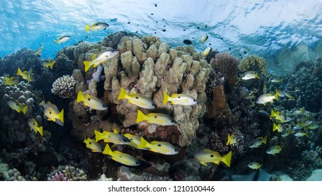 Shoal of yellow-striped snappers in a colorful coral reef