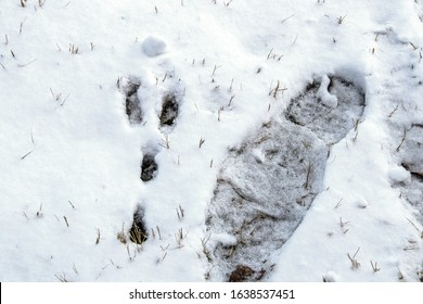 Shoe footprint right beside rabbit print in snow - close-up top down view