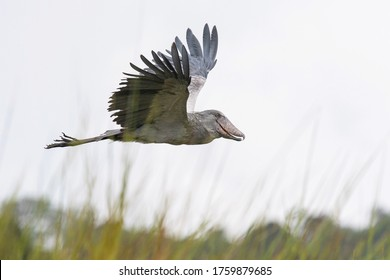 The Shoebill or Balaeniceps rex. The majestic bird of the wetlands and an excellent fisherman is in typical green environment. Flying above the grass od Ugandas wetlands.