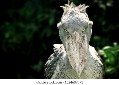 A shoebill (Balaeniceps rex) stork standing surrounded by plants and waiting.