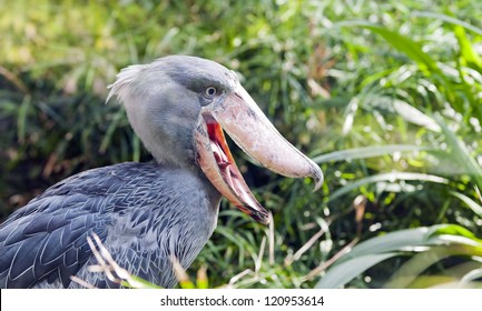 The Shoebill also known as Whalehead or Shoe-billed Stork, is a very large stork-like bird.