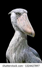 Shoebill stork (Balaeniceps rex)