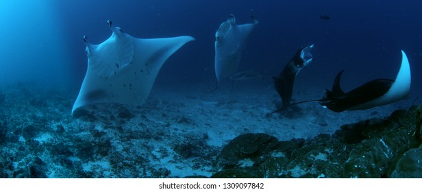 A shool Alfred manta (reef manta rays), Manta alfredi, swimming near a cleaning station in the coral reef a nurse shark, Ginglymostoma cirratum, rushes to the group of mantas, Maldives, Indian Ocean