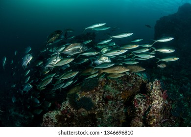 Shool of Emperor, Rainbow runners and Trevallies feeding on tropical reef