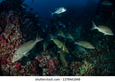 Shool of Longnose emperor, Rainbow runner and Trevally feeding on tropical reef
