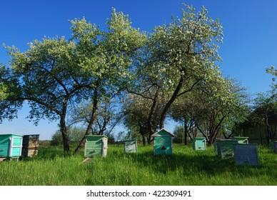 Shoot of honey bee hives in spring apple garden