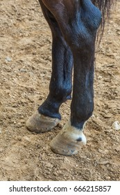 Shooting close-up, the hind legs of a horse. Hooves, black wool. The horse is on the ground.