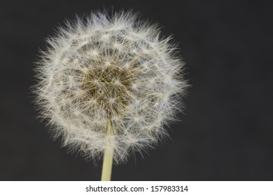 Shooting of a dandelion in grey background