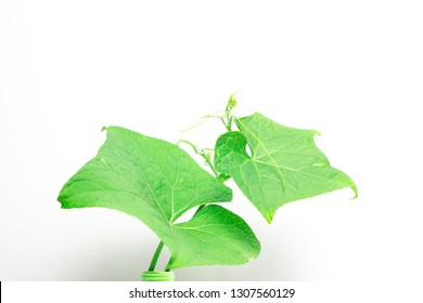 shoots of chayote leaves on a white background