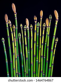 Shoots of horsetail (Equisetum hyemale) showing various stages of maturity. Mature heads release spores for reproduction.