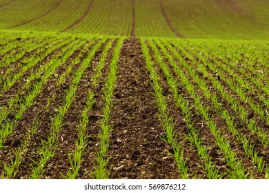 Shoots of wheat in a field. Green young sprouting seeds. Winter wheat field on the ground cultivation. Agricultural background.