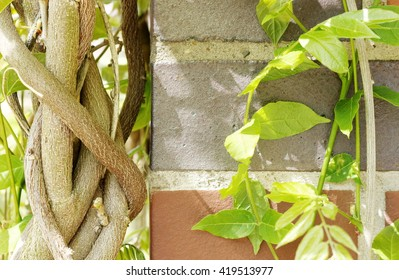 shoots of wistaria on the wall