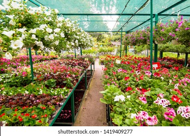 Shop selling flowers for home garden, flowerpots with hanging flowers and on racks in an assortment of green leaves.