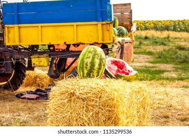 shop watermelons in the field