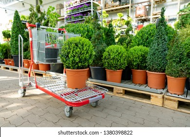 shopping at garden plants store buxus on cart
