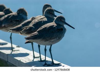 Shore birds on board creek in Hilton head island SC
