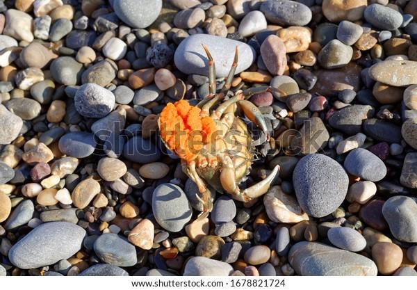 shore-crab-carcinus-maenas-female-600w-1