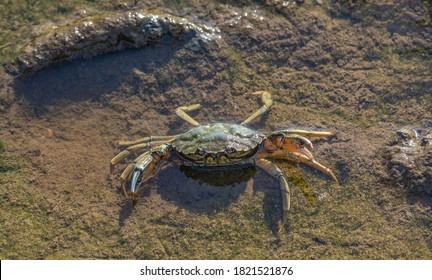 Shore Crab (Carcinus maenas), Eiderstedt Halbinsel, Nordsee, Nordfriesland, Deutschland