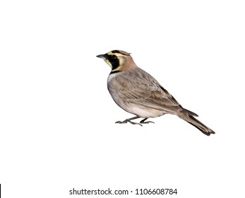 Shore lark or Horned lark, Eremophila alpestris atlas, Morocco, March 2018