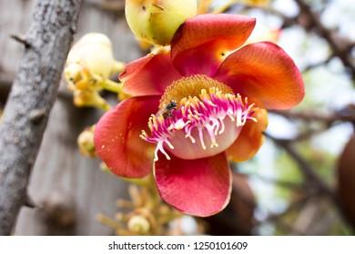 Shorea robusta and bees