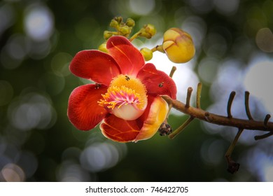 Shorea robusta Roxb. Sal, Shal, Sakhuwan,Sal Tree, Sal of India,