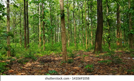 Shorea robusta, the sal tree, is a species of tree in the family Dipterocarpaceae. This forest is in Sukna of Darjeeling district.