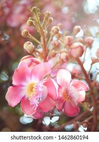 Shorea robusta,Sala flower,Sal are blooming