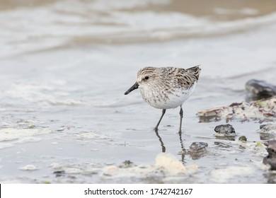 shorebird Semipalmated Sandpiper at Richmond BC Canada