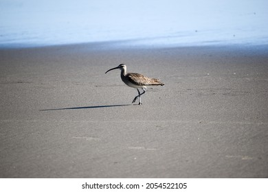 Shorebird walking on a beach