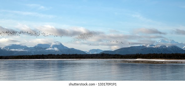 Shorebirds flying by the Salmon RIver near the entrance to Glacier Bay National Park in winter.