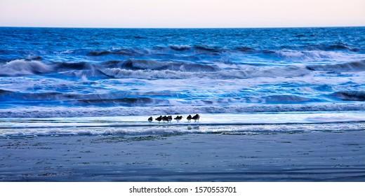 Shorebirds on the beach, on Hilton Head, SC.