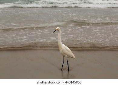 Shoreline Egret